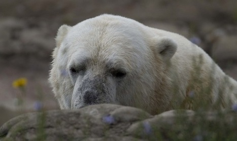 Melting of Ice Caps Forces Polar Bears to Change Diet - The Moscow Times | Global warming | Scoop.it