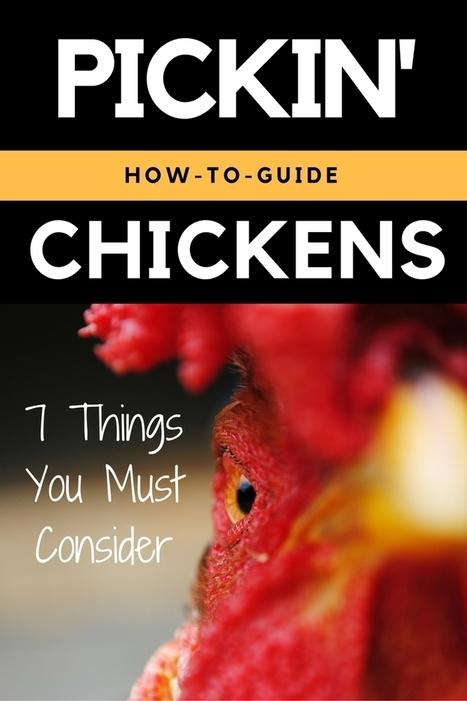 Selecting the Best Backyard Chicken Breed | Organic Farming | Scoop.it