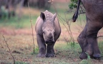 Cross-border strategy for rhino poaching not on the table | What's Happening to Africa's Rhino? | Scoop.it