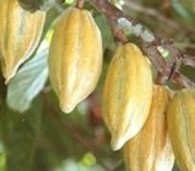Government Wants Cocoa Output Sustained At 1m Tonnes ... | Fairly Traded News | Scoop.it