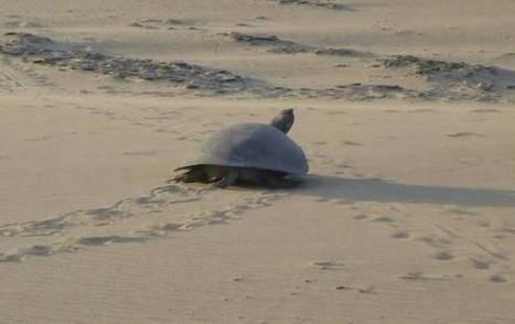 Liberadas más de 300 tortugas marinas en Santa Marta | Agua | Scoop.it