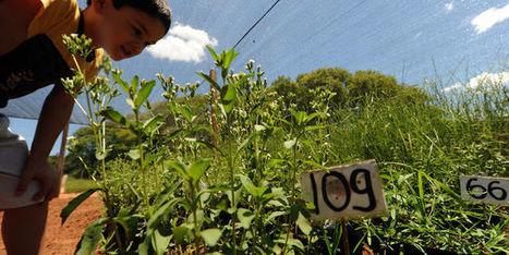 La stevia au cœur d'un scandale de biopiraterie | PRODUITS AGRICOLES ET MARCHES - AGRICULTURAL PRODUCTS AND MARKETS | Scoop.it