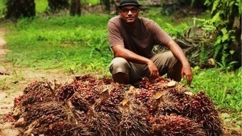 Ivory Coast hopes to squeeze the profits from palm oil | Daraja.net | Scoop.it