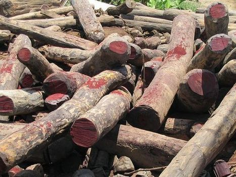 """UN Issues New Protections for Rosewood Trees, the """"Ivory of the Forest"""" 