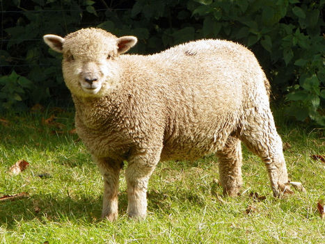 5 Alarming Facts About the Wool Industry - One Green Planet | sustainable luxury | Scoop.it
