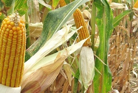 Fearing hunger, Malawi eyes maize from Tanzania, Zambia | MAIZE | Scoop.it