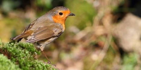 Les oiseaux désorientés par un effet quantique inconnu | myScience | Scoop.it