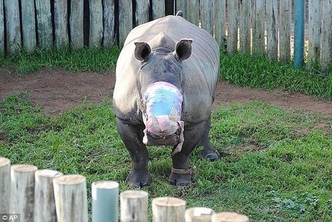 South African rhino undergoes pioneering facial reconstruction surgery | Save our Rhino and all animals...this is what it looks like!!!!! | Scoop.it