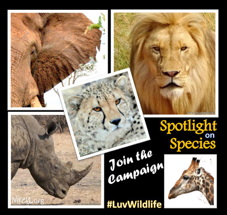 Spotlight on Species Campaign to Save Endangered Wildllife | Wildlife Trafficking: Who Does it? Allows it? | Scoop.it