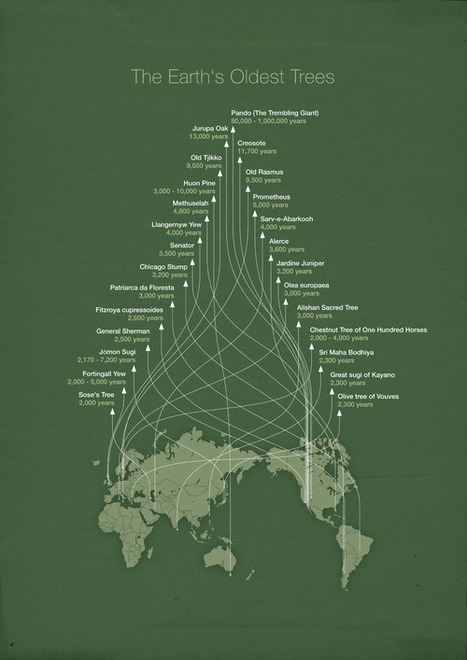 The world's oldest trees in an infographic by... | Tracking Transmedia | Scoop.it