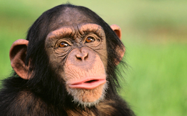 Victory! NIH to Retire Most Research Chimps | This Gives Me Hope | Scoop.it