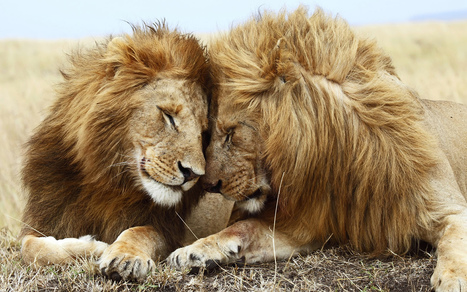 Lions extinct? - The Sunshine Coast Daily | Animals and Other Stories | Scoop.it