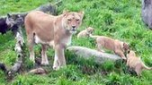 Ore. Zoo 'baby-proofing' exhibit for lion cubs | Oregon Zoo Babies | Scoop.it