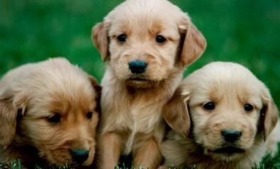 Does looking at pictures of puppies improve concentration? | Web Side Story | Scoop.it