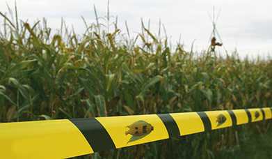 GMO maize crop presents significant risks to nature, human health - EU MP | GMOs | Scoop.it