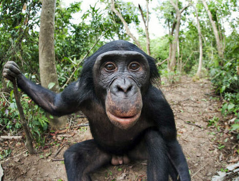 Empathy, Ethics and Bonobos: Distinguished Lecture Tonight at HMNS | Empathy and Compassion | Scoop.it