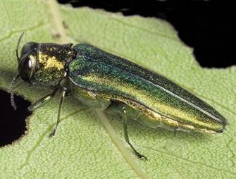 TREE KILLER ON THE MOVE: The Emerald Ash Borer wings its way to Bucks ... - Bucks Local News | Forests Unlimited | Scoop.it