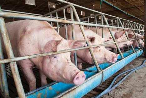 Le prix du porc s'envole en Chine   Livestock Equipment News and Trends   Scoop.it
