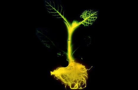 Glowing Plants To Light Up Your Home | Systems Theory | Scoop.it