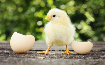 "Cruelty to Baby Chicks at ""Humane"" Hatchery Exposed 