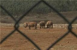 China's rhino-horn farms enrage activists | What's Happening to Africa's Rhino? | Scoop.it