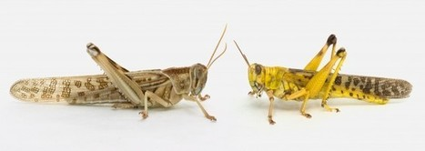 Phenotypic Transformation Affects Associative Learning in the Desert Locust | Social Foraging | Scoop.it