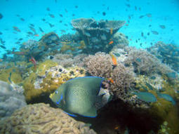 Coral reef study traces indirect effects of overfishing | Belize in Social Media | Scoop.it