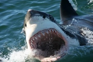 Great White Shark Population Off Central, South Coasts May Be Growing, With El Nino Possible Contributor | Coastal Restoration | Scoop.it