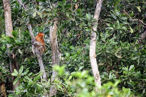 Photo 174   Bekantan - Wild Indonesia   Scoop.it