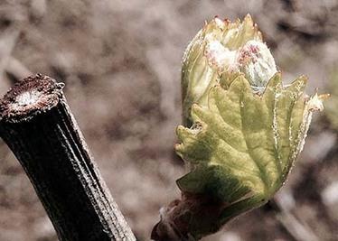 Early Bud Break Brings Frost Worries | Grande Passione | Scoop.it