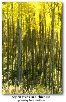 growing changing learning creating: What every aspen grove knows | Rhizomatic Learning | Scoop.it