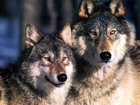 Nearly 500,000 More Americans Speak Out Against Federal Plan to Strip Wolves of Protections | Garry Rogers Nature Conservation News | Scoop.it