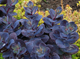 Sedum Blue Pearl - NEW for 2013, SUNSPARKLER® Sedum with deep blue, plastic-like leaves. Thrives with Knock Out Roses, Ornamental Grasses, & other Sedums! | Grown Green Gardens | Scoop.it