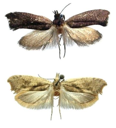 Deux espèces nouvelles de papillons découvertes en Russie | EntomoNews | Scoop.it