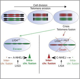 Escape from Telomere-Driven Crisis Is DNA Ligase III Dependent | Amazing Science | Scoop.it
