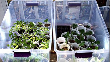 Repurpose clear storage totes as mini-greenhouses | Gardening Life | Scoop.it