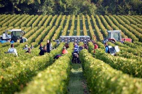 Vendanges 2014 : amélioration en vue après deux récoltes décevantes - Les Échos   Autour du vin   Scoop.it