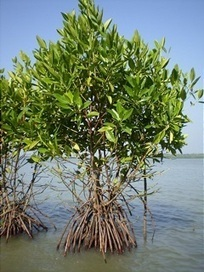 GNF - Mangrove Restoration in Asia | Year 7 Science: Biodiversity of the Tonle Sap Lake environs | Scoop.it