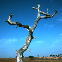Climate Change Blamed for Dying African Trees - Voice of America | Environmental Issues | Scoop.it
