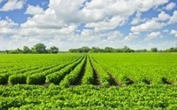 Activist Post: Genetically Modified Grass Kills Cattle By Producing Warfare Chemical Cyanide   GMOs   Scoop.it