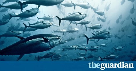 Is there any tuna that it's OK to eat? | All about water, the oceans, environmental issues | Scoop.it