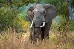 Tanzanie : les éléphants de Selous pourraient disparaitre d'ici 2022 | Biodiversité | Scoop.it