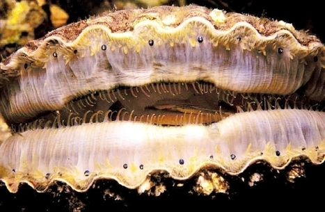 Acidic water blamed for West Coast scallop die-off | Marine Protection | Scoop.it