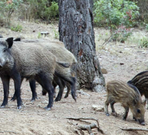 Secuencian el genoma del cerdo y trazan el mapa de su evolución ... | Historia y Filosofia del Codigo Genetico-De la Genetica Mendeliana al Genoma | Scoop.it