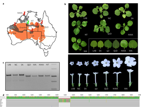 The extremophile Nicotiana benthamiana has traded viral defence for early vigour | Plant-microbe interaction | Scoop.it