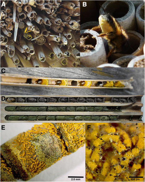 Convergent evolution of highly reduced fruiting bodies in Pezizomycotina suggests key adaptations to the bee habitat | MycorWeb Plant-Microbe Interactions | Scoop.it
