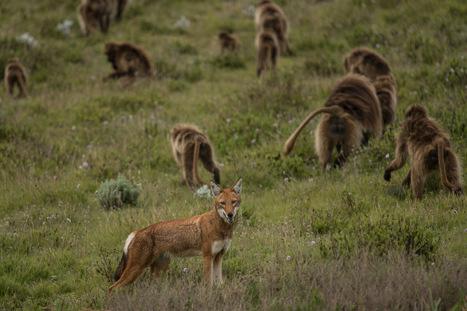 Le loup d'Ethiopie coopère avec les singes Géladas pour chasser les rongeurs | Ecologie Animale | Scoop.it