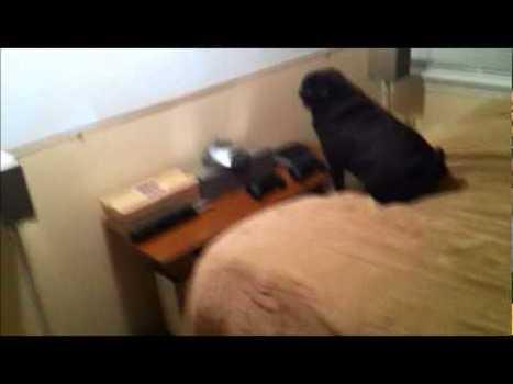 Un perro Pug que recontra detesta al iPhone | VIM | Scoop.it