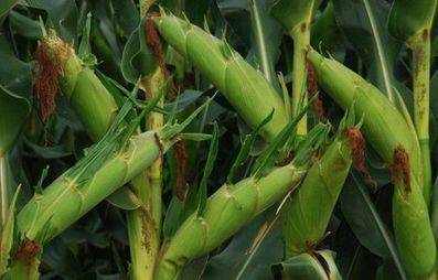 Kenya: GM maize seeds will help boost farmers' output | MAIZE | Scoop.it