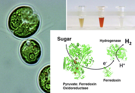 Producing hydrogen in the dark from Chlamydomonas | Sustain Our Earth | Scoop.it